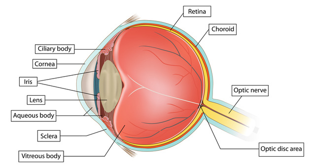 Worksheets Structure Of Human Eye Worksheet the internal structure human eye after iris and inside sclera is inner of eye